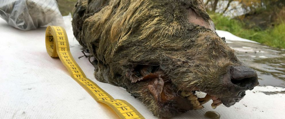 PHOTO:Mammoth Fauna Study Department at the Academy of Sciences in Russia released this Sept 6, 2018 photo that they say depicts the head of an Ice Age wolf that was found during a 2018 expedition.