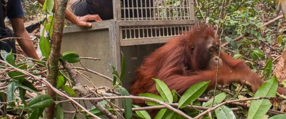 PHOTO: International Animal Rescue and the Agency of Conservation of Natural Resources of Ketapang rescue of a female orangutan and her infant from forest fires in Ketapang, West Borneo.