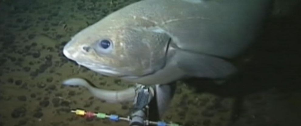PHOTO: Scientists have uncovered a fish swimming at a depth of 8,145 meters below the surface, beating the previous record for the deepest fish found by a rate of almost 500 meters.