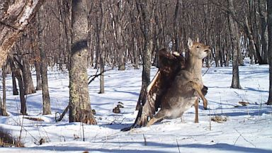 PHOTO: A golden eagle is seen attacking a sika deer in Russia in this undated handout photo taken by the Zoological Society of London.