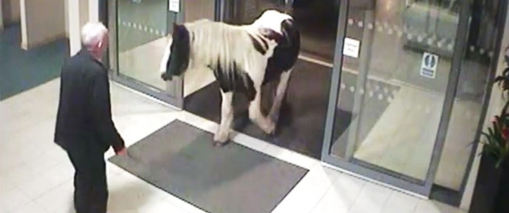 "PHOTO: A grab from a video titled, ""Neigh-bour visits Cheshire Police HQ"" uploaded to YouTube on Oct. 9, 2014 shows a horse entering a building."