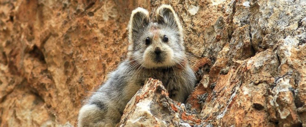 PHOTO: The Ili pika, a mammal found in the Tianshan Mountains of northwestern China, is pictured here in a 2014 photo from a story reported on NationalGeographic.com.