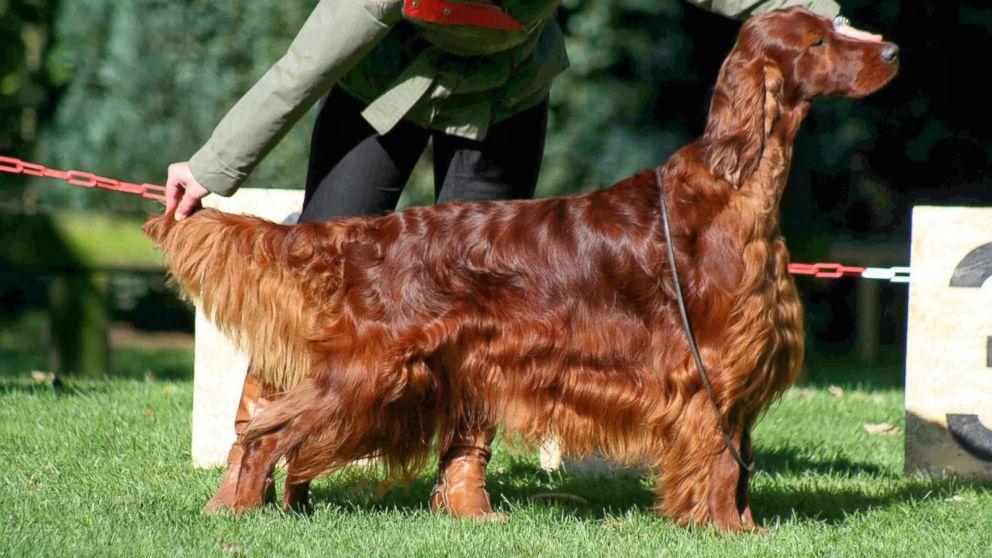 National Dog Show Irish Setter