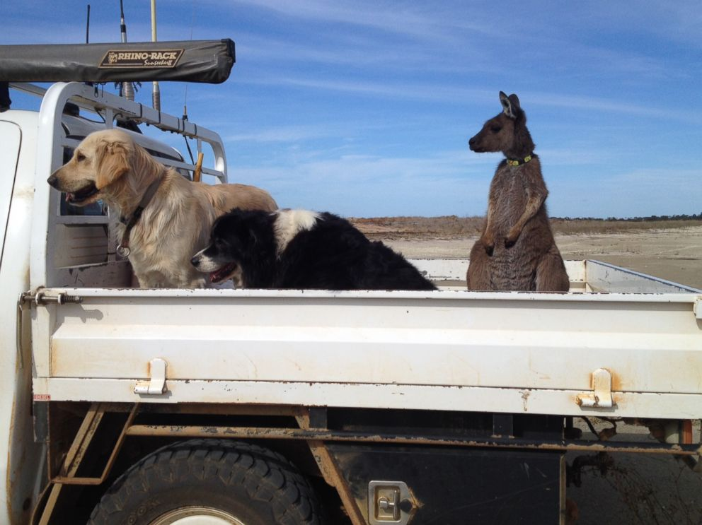 PHOTO: Dusty the kangaroo is pictured here with Lilly the Golden Retriever and Rosie the Border Collie in the bed of Ashley Stewarts truck at their farm in Esperance, Australia.