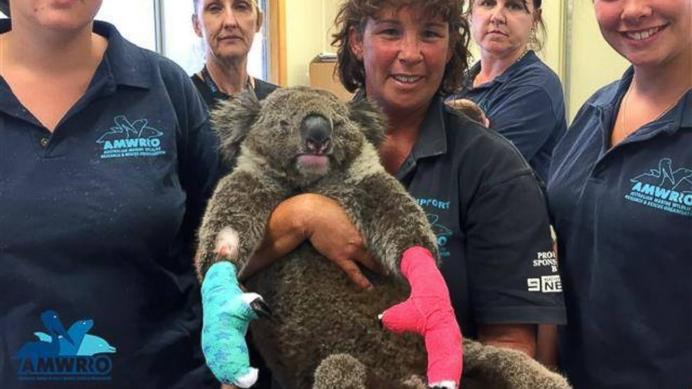 Public Asked To Sew Pouches For Injured Kangaroos In Australia Abc News