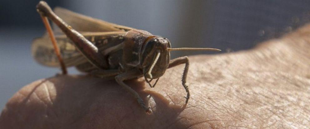 PHOTO: A locust crawls on a mans hand in an undated handout photo from SENASA.