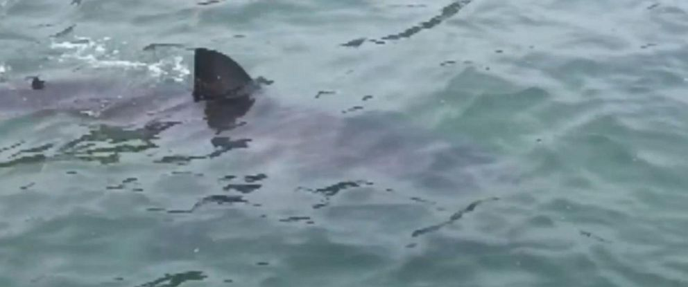 PHOTO: A great white shark was spotted in Lake Macquarie near Newcastle, Australia, Dec. 5, 2014.