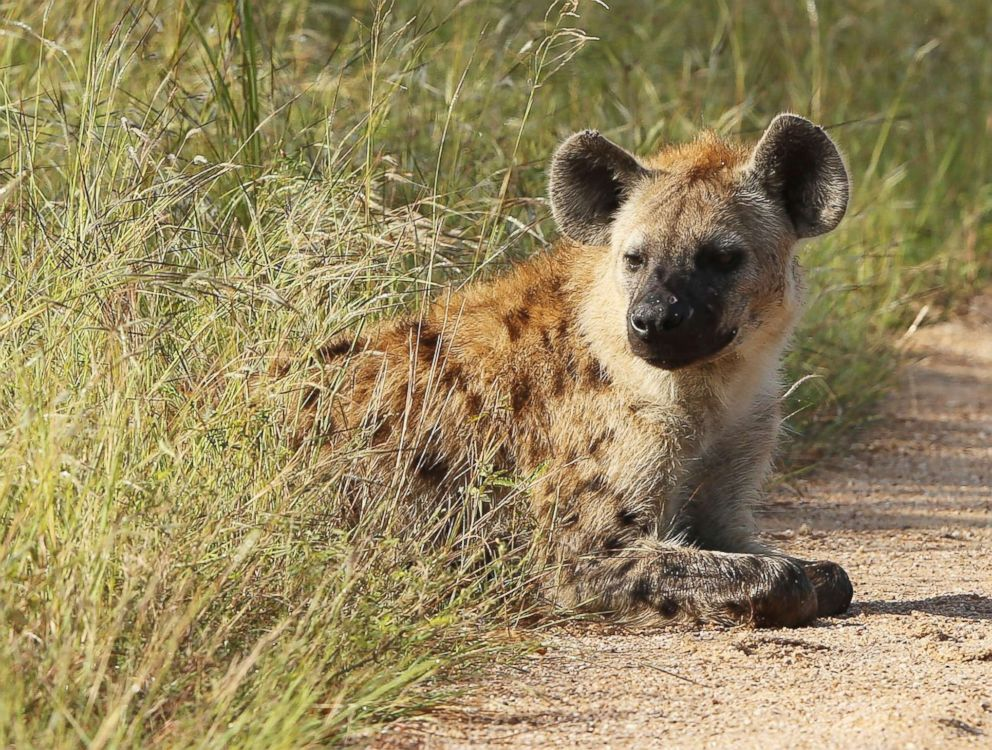 PHOTO: A hyena is pictured in Kruger National Park on Feb. 6, 2013, in Skukuza, South Africa.