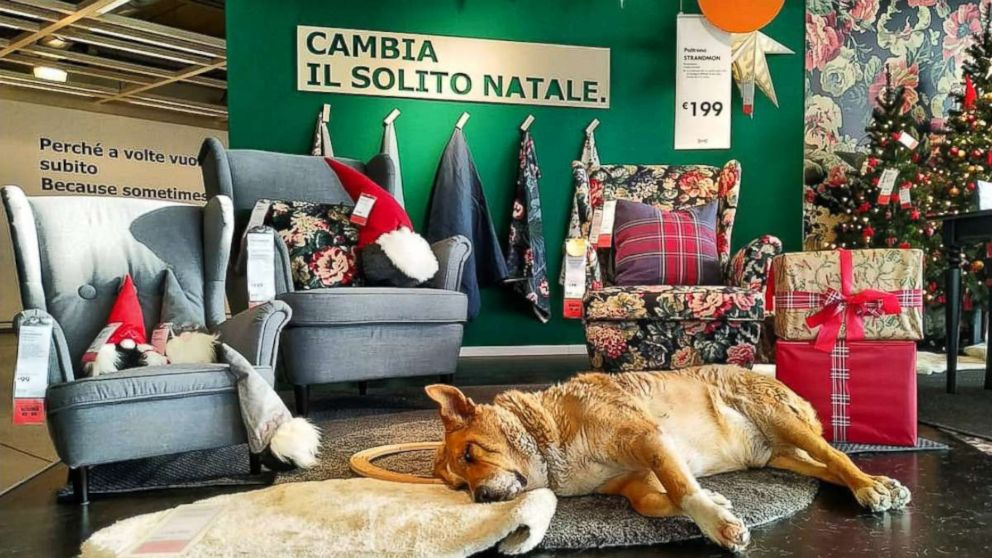 Ikea In Italy Welcomes Stray Dogs This Winter Abc News