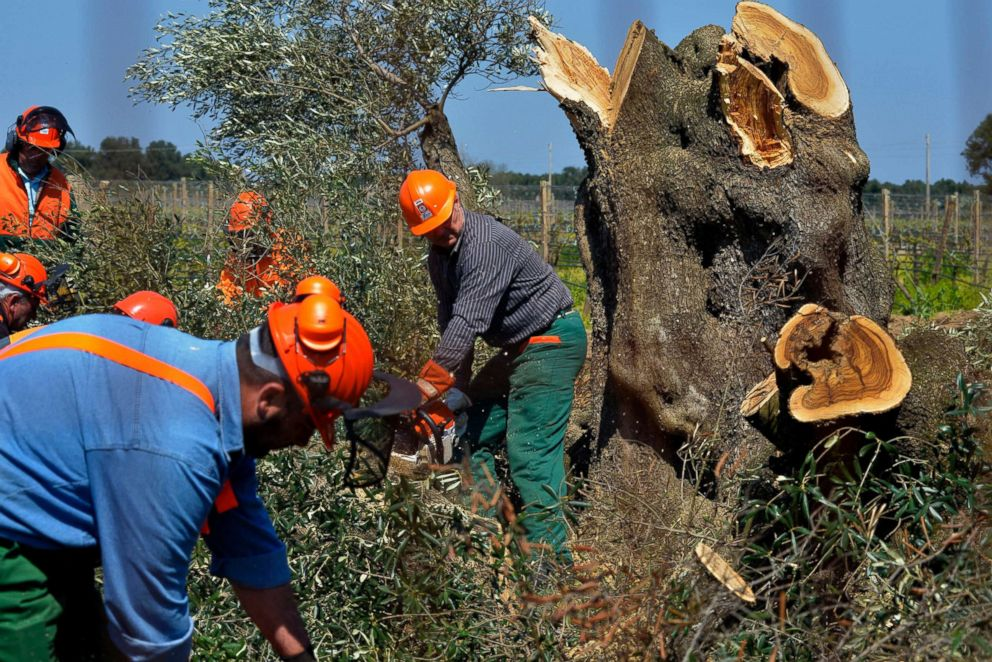PHOTO: Workers cut down an olive tree in Oria, near Brindisi, southern Italy, April 13, 2015. Forestry officials in southern Italy cut down thousands of olive trees infected with a deadly bacteria in an attempt to prevent its spread.