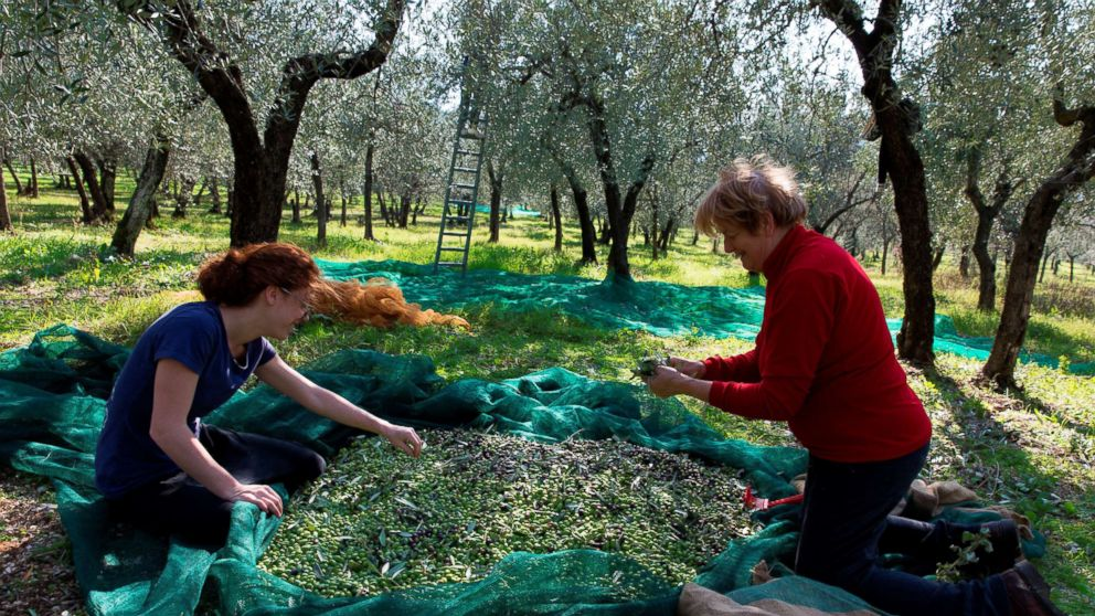 As olive oil woes increase, Italian producers step up the fight