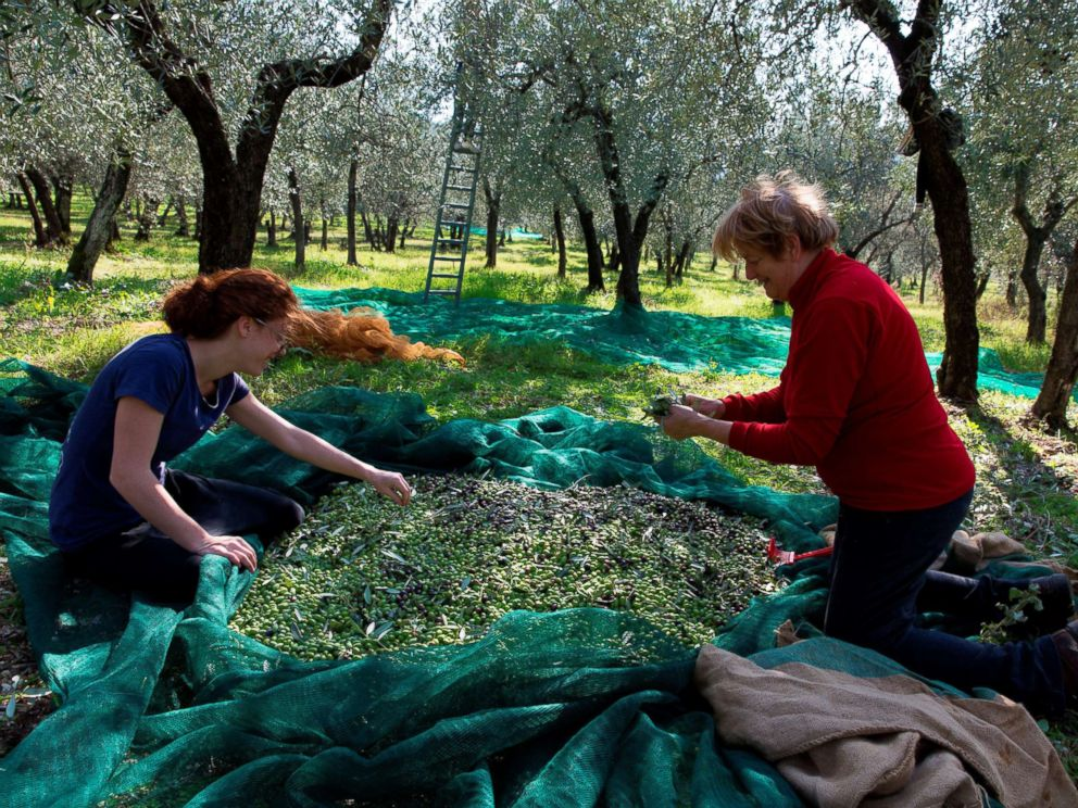 PHOTO: People harvest olives in the Umbria region of Italy, Sept. 18, 2017.