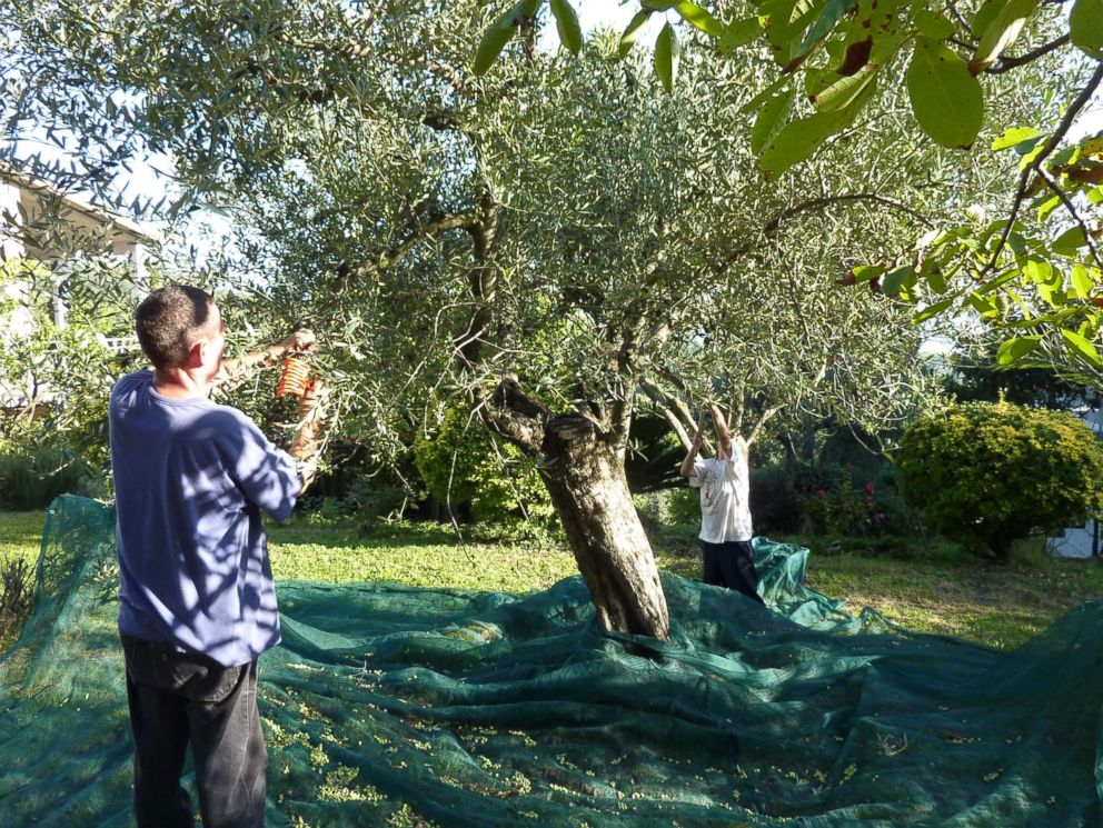 PHOTO: People harvest olives from trees using rakes, north of Rome, circa 2013.