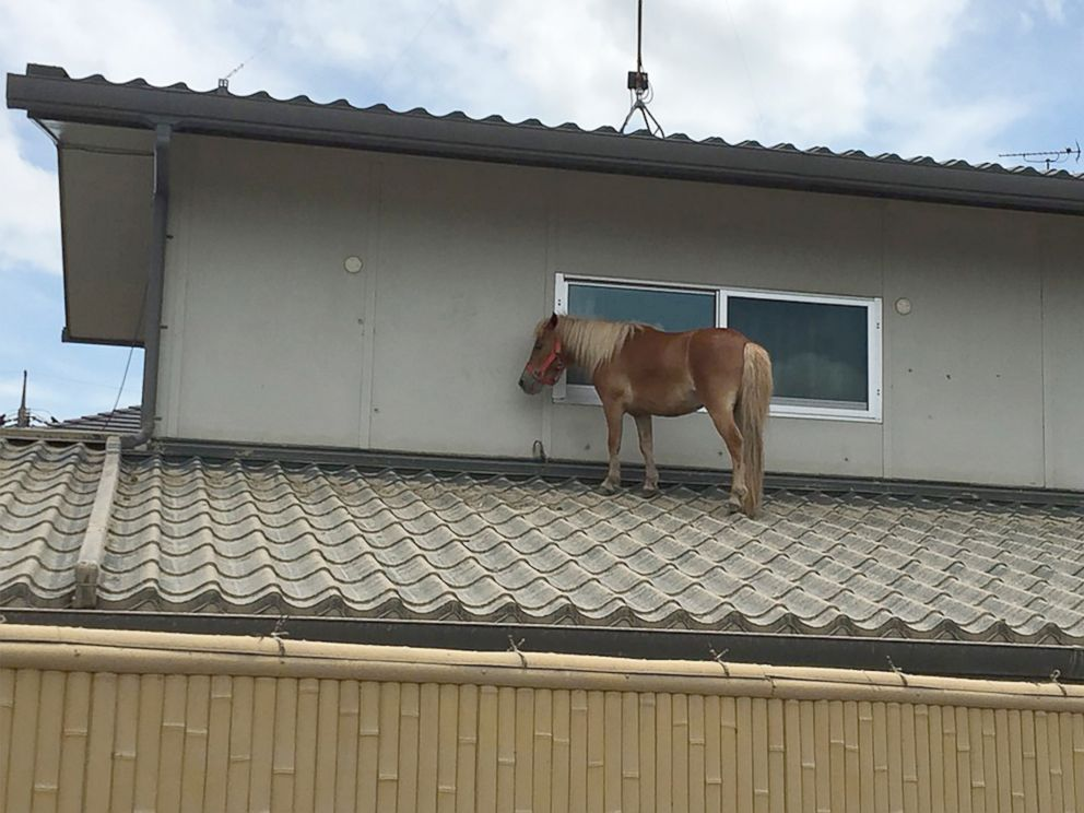 PHOTO: This handout picture taken on July 9, 2018 by the NGO Peace Winds Japan shows a miniature horse stranded on a rooftop due to the recent flooding in the Mabicho area in Kurashiki, Okayama prefecture, Japan.