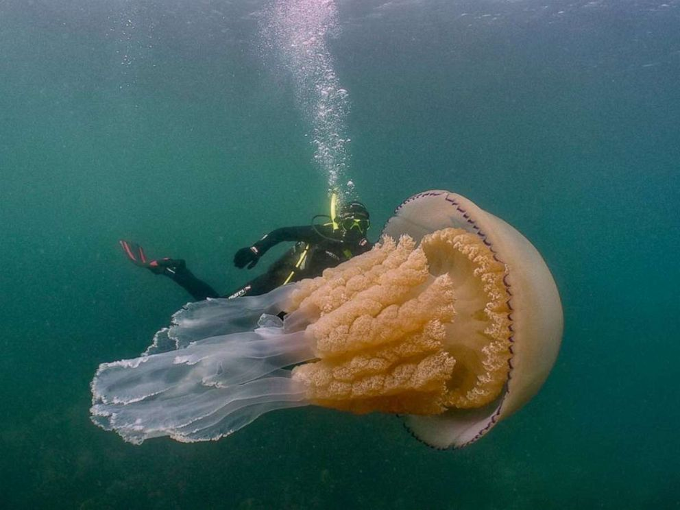 'Breathtaking' Giant Jellyfish Spotted Along English Coast