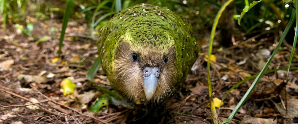 PHOTO: Kakapo sits in a tree in this stock photo.