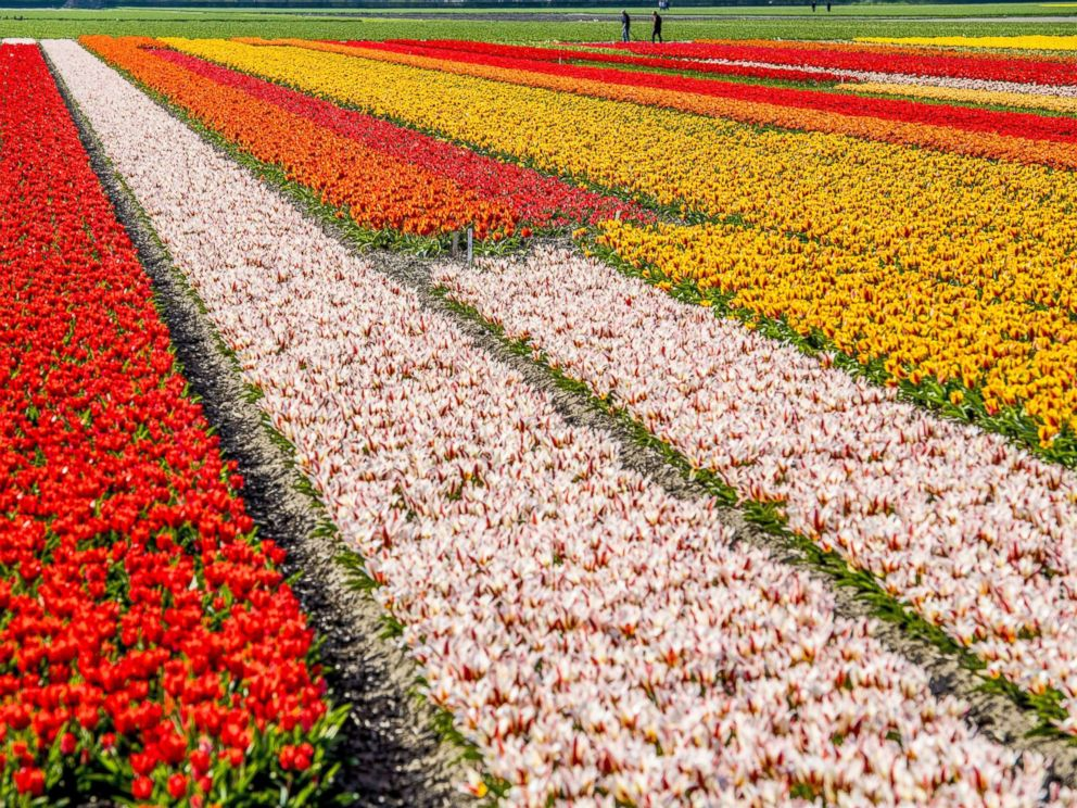 PHOTO: Visitors to the Keukenhof view the colorful flower fields and bulb blossoms, in Lisse, The Netherlands, April 17, 2018.