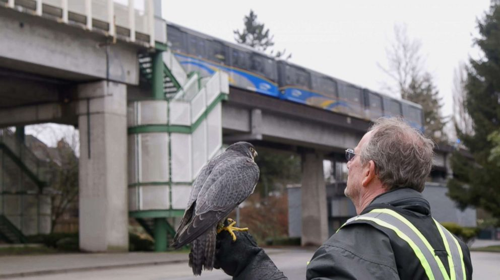 PHOTO: Kim Kamstra walks around a SkyTrain station in Vancouver, British Columbia, on Jan. 24, 2018, with his falcon, Avro, as part of a pigeon-scaring pilot program.