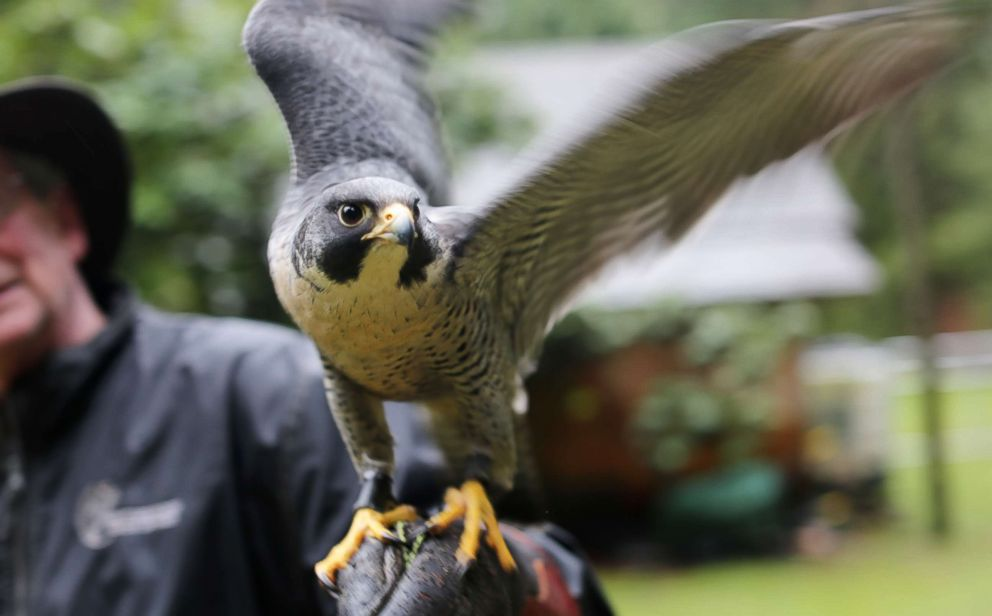 PHOTO: Peregrine falcon, Avro, tries to fly off falconer Kim Kamstras tethered wrist in Maple Ridge, British Columbia, on Jan. 23, 2018.