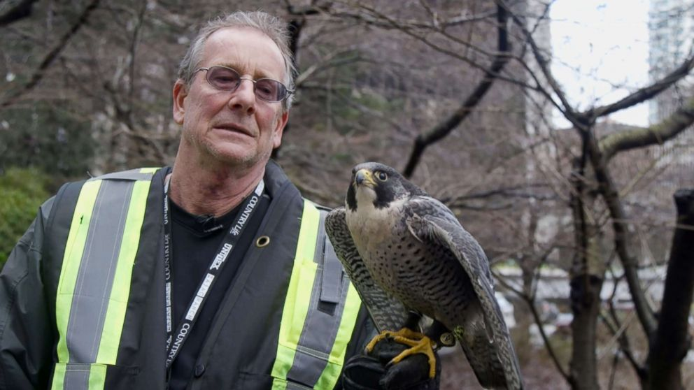 PHOTO: Kim Kamstra stands outside a downtown rail station in Vancouver, British Columbia, on Jan. 24, 2018, with his falcon, Avro, as part of a pilot pigeon-scaring program.