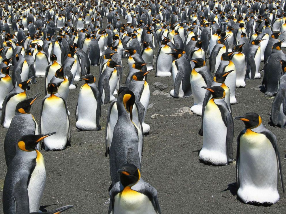 PHOTO: This undated file photo released by the CNRS/IPEV/CSM shows King Penguins from the Possession Island in the Crozet archipelago.