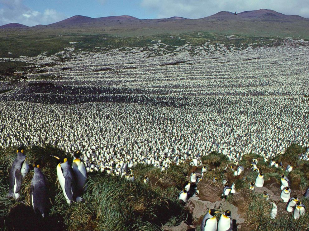 PHOTO: This handout photo taken in 1982 and released on July 30, 2018 by the French National Centre for Scientific Research shows a two-million-strong king penguin colony on Ile aux Cochon, part of Frances Iles Crozet archipelago.