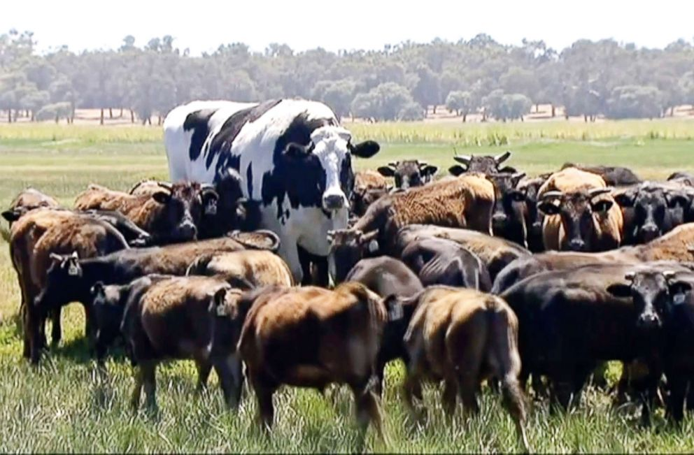 The internet is obsessed with Knickers the giant Australian cow