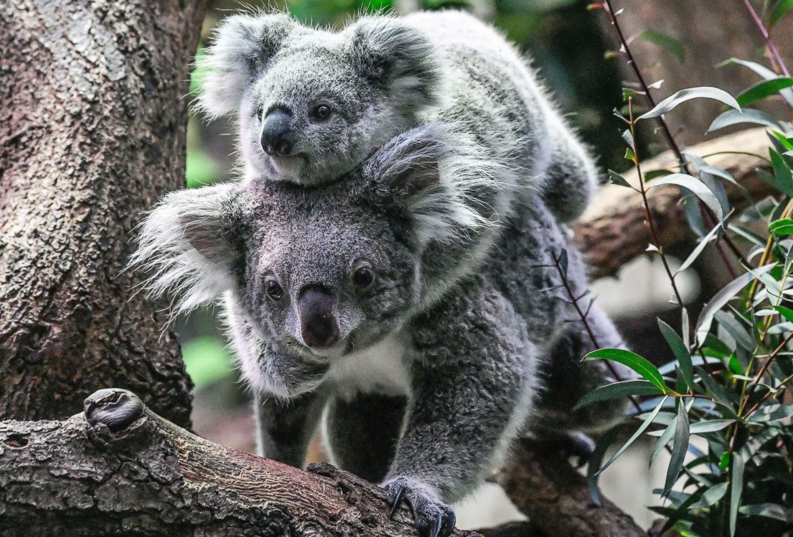 Baby koala takes a ride on its mother 39 s back picture cutest baby animals from around the world - Pictures of koalas and baby koalas ...