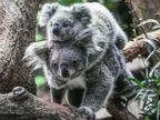 Baby koala takes a ride on its mother