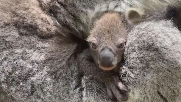 Zoo welcomes first baby koala in 8 years -- and its 1st appearance is everything you'd hope for