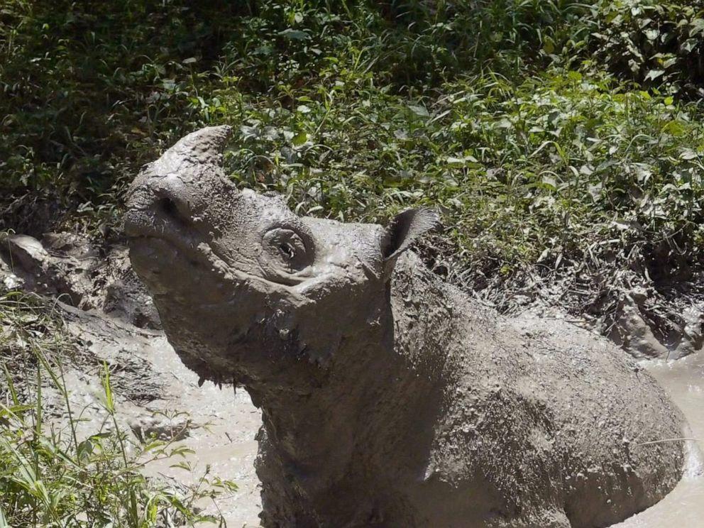 PHOTO: Tam, the last male Sumatran rhino, wades into mud in Sabah, Malaysia, in 2014.