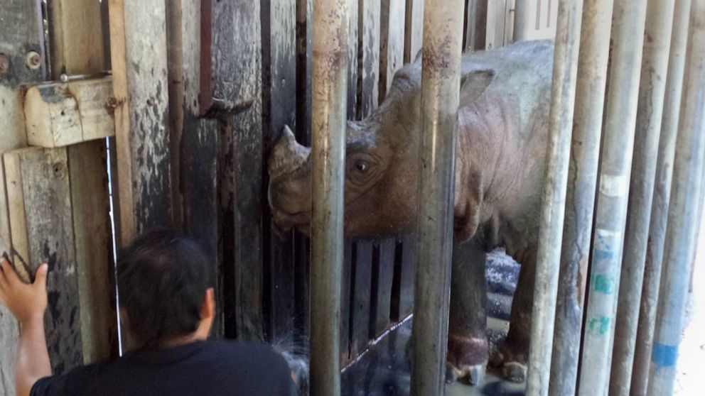PHOTO: Tam, the last male Sumatran rhino looks out from his cage in Sabah, Malaysia in 2014.