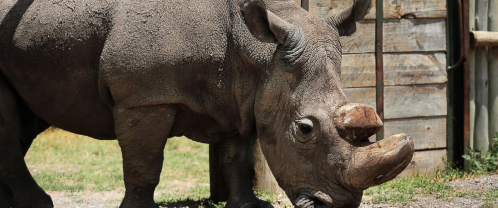 In this Wednesday, May 3, 2017, file photo, Sudan, the worlds last male northern white rhino, is photographed at the Ol Pejeta Conservancy in Laikipia county in Kenya.