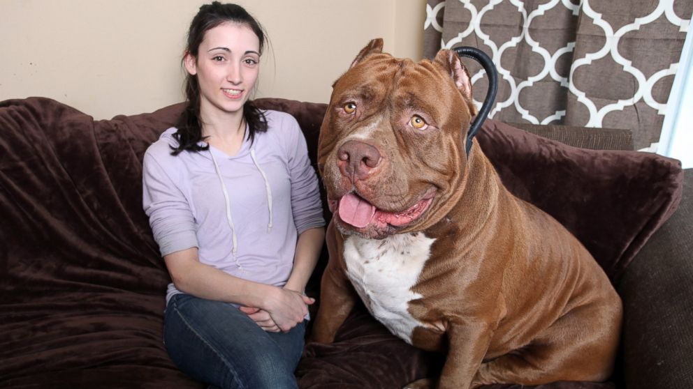 175-Pound Pit Bull Hulk Shatters Misconceptions About the Breed