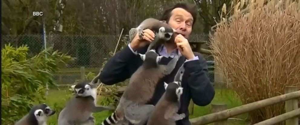 PHOTO: The BBCs Alexander Dunlop was visiting Englands Banham Zoo recently to report on its annual counting of animals, when he was mobbed by a group of lemurs.