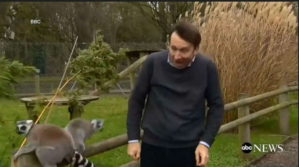 PHOTO: Lemurs attack BBC reporter during visit to the zoo, jumping on him and even taking little bites.