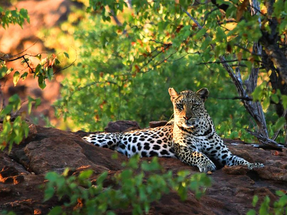 PHOTO: This handout picture released by Durham University on April 19, 2017 shows a leopard at the Soutpansberg Mountains, South Africa, June 25, 2012.
