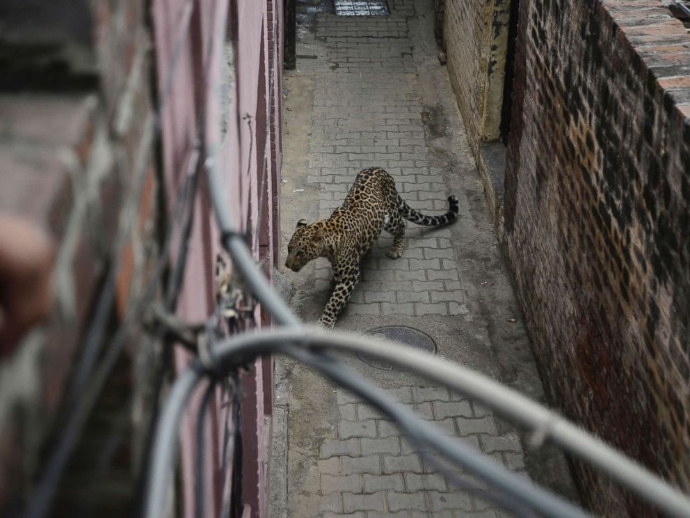 6 injured after wild leopard terrorizes Indian city - ABC News