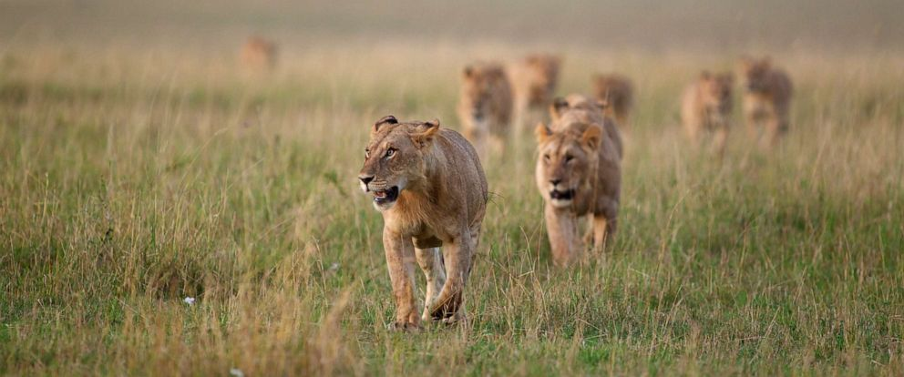 PHOTO: An undated stock photo of lions.