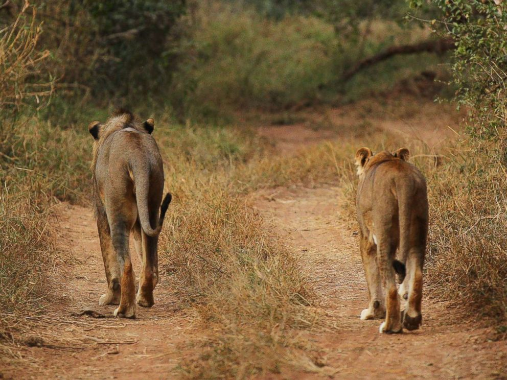 PHOTO:This file photo shows a lion and lioness walking along a trail at a game reserve on July 21, 2010 in Kruger National Park, South Africa. Kruger National Park, South Africa.