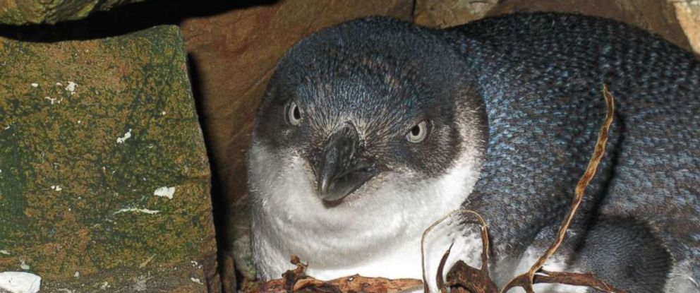 PHOTO: A baby blue penguin is seen here in this undated file photo.