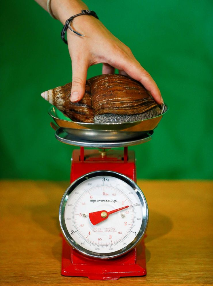 PHOTO: A West African giant land snail can be seen during the annual weigh-in at ZSL London Zoo in London, Aug. 23, 2018.