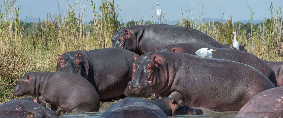 PHOTO: A group of hippopotami congregate on the shore of the Shire River in Liwonde National Park, Malawi, May 26, 2016.