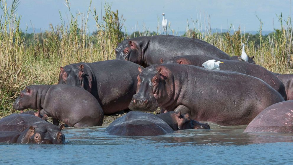 A group of hippopotami congregate on the shore of the Shire River in Liwonde National Park, Malawi, May 26, 2016.