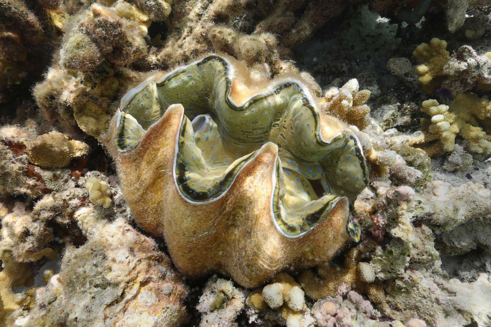 PHOTO: In this May 27, 2019, file image, a giant clam is shown in the waters off Runit Island, Marshall Islands. The U.S. Department of Energy has disclosed high levels of radiation in giant clams in a lagoon near the Runit Dome.