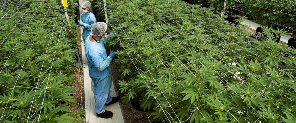 PHOTO: Workers trim cannabis plants inside a Fotmer SA greenhouse in Nueva Helvecia, Uruguay, on Tuesday, Feb. 26, 2019.
