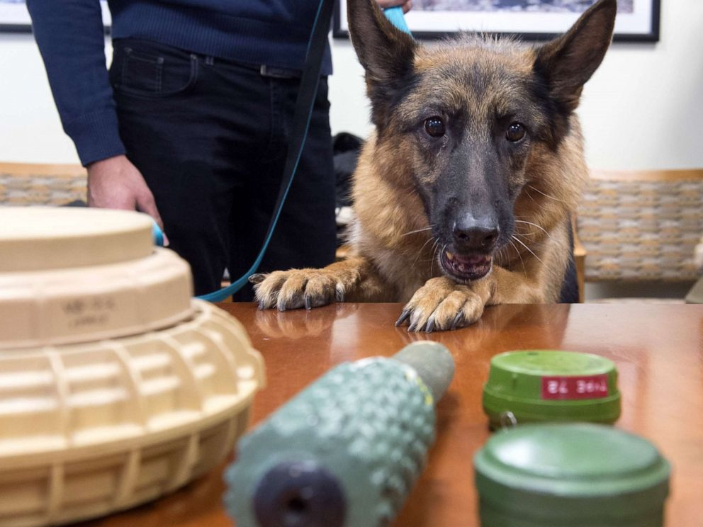 PHOTO: Astra Joan, a mine detection dog from Lebanon, sniffs inert samples of various mines, during a demonstration in Washington, DC, Oct. 20, 2015.