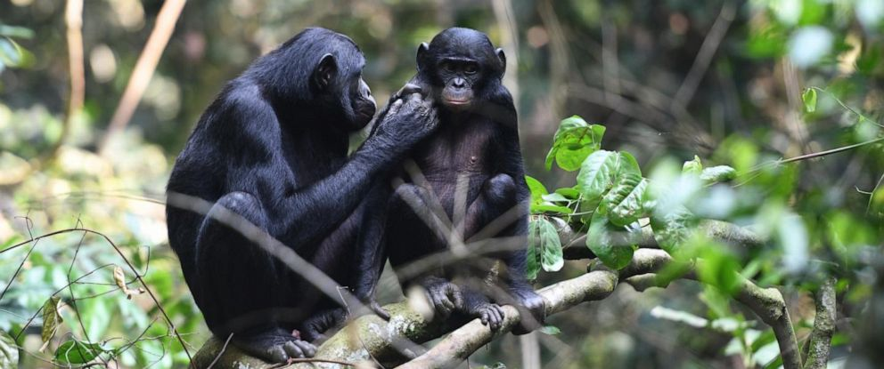 PHOTO: A young juvenile male bonobo is groomed by his mom in the Kokolopori Bonobo Reserve.
