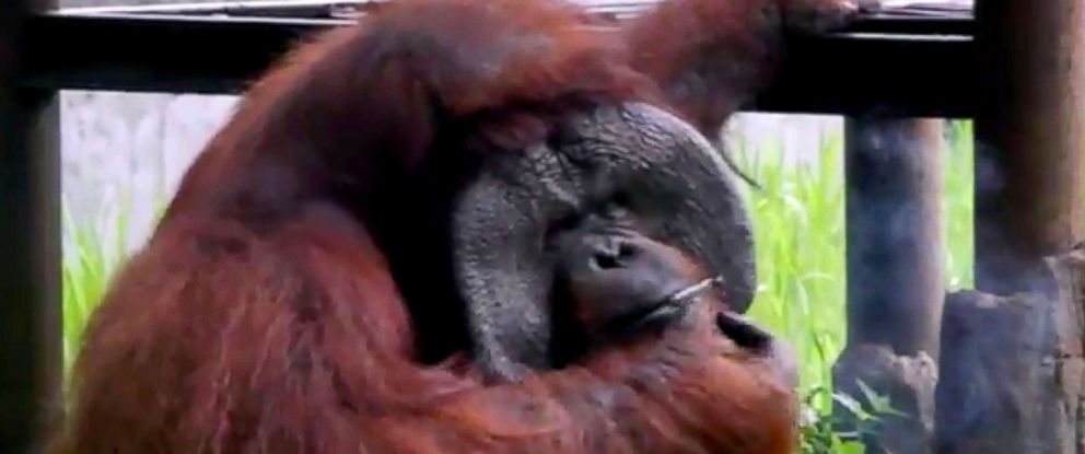 PHOTO: Indonesia Animal Welfare Society shows a Bornean orangutan named Ozon smoking a cigarette in its zoo enclosure in Bandung, Indonesia, March 4, 2018.