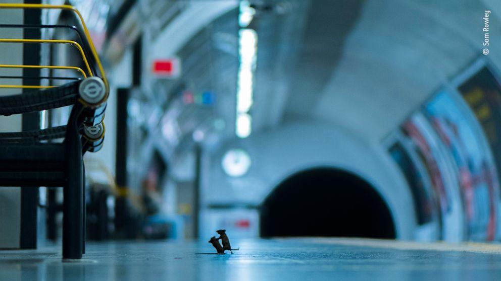 Foto 2 Mäuse 'kämpfen' auf U-Bahn-Plattform gewinnt award
